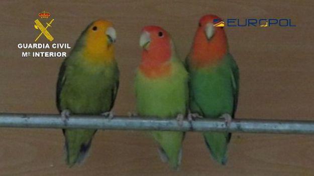 29 personas detenidas pertenecientes a una organización internacional dedicada al comercio ilegal de especies de aves