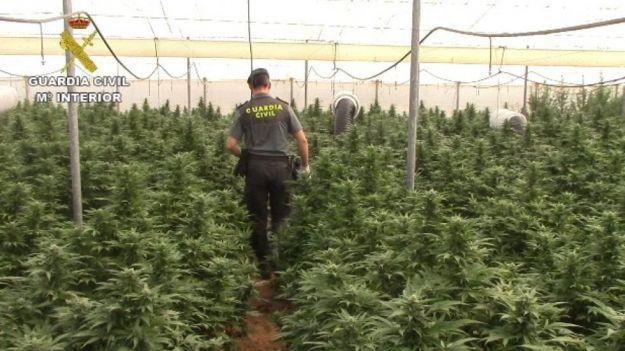 9 detenidos por cultivar más de 8.000 plantas de marihuana