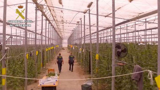 Descubren 41.000 plantas de marihuana en un invernadero en Almería
