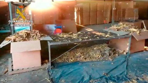 La mayor aprehensión de hojas de tabaco de Europa se ha llevado a cabo en Cáceres